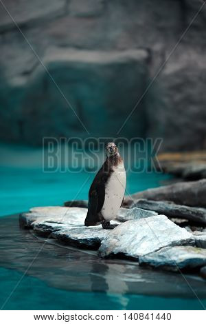 Humboldt Penguins Standing In Natural Environment