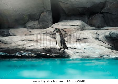 Humboldt penguins standing in natural environment on the rocks near the water