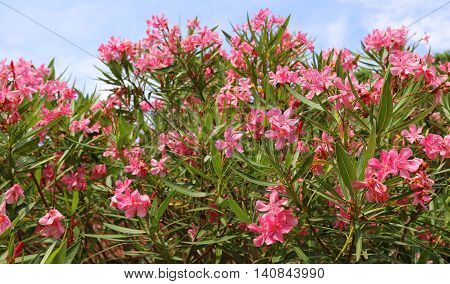 Oleander Flower In The Garden And The Blue Sky
