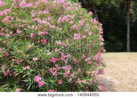 Beautiful Oleander Flower In The Garden