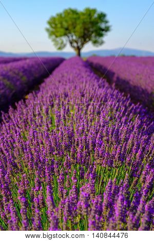 Lavender field at plateau Valensole, Provence, France. Focus to the foreground