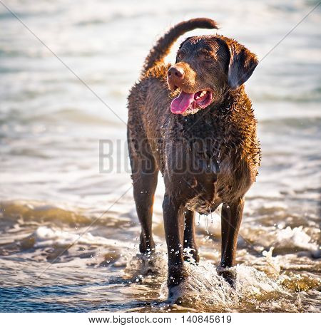 A Chesapeake Labrador fully wet and playing in the ocean's surf.