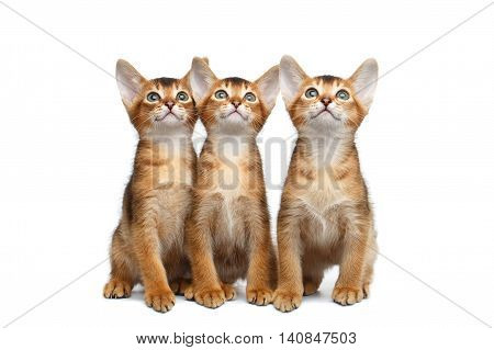 Three Little Abyssinian Kitten Sitting and Curious Looks up on Isolated White Background