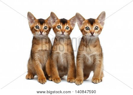 Three Little Abyssinian Kitten Sitting and Curious Looking in Camera on Isolated White Background, Front view