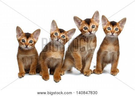 Four Little Abyssinian Kitten Sitting and Curious Looking in Camera on Isolated White Background, Front view, Young Family