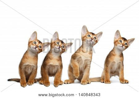 Four Little Abyssinian Kitten Sitting and Curious Looking up on Isolated White Background, Front view