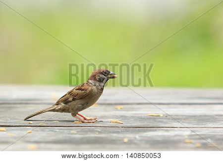 eurasian tree sparrow and paddy in mouth standing on wood table with green blur background