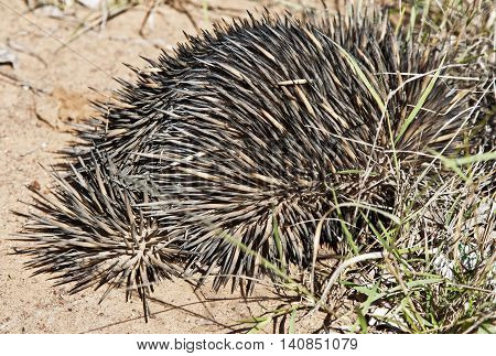 echidna digging into the ground in Australian outback