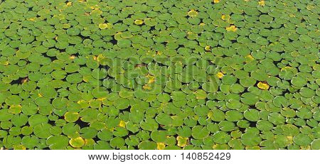 waterlilies green surface of a lake or pound