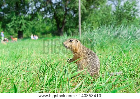Gopher standing profile and starring on meadow, some people on the background