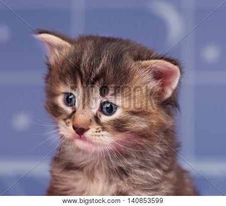 Portrait of a cute siberian kitten over light-blue background
