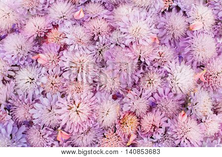 Flower background, purple asters placer. Plenty of pink blossom. delicate romantic backdrop