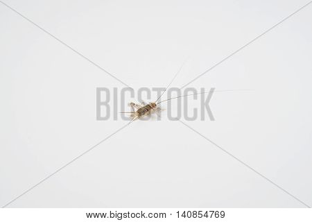 Field Cricket Ensifera or Orthoptera is on a white background.