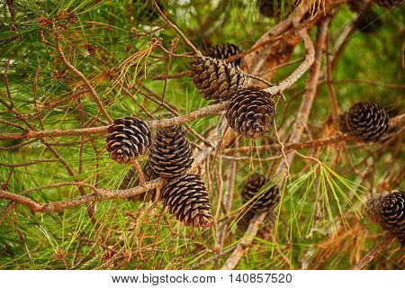 Fir branch with pine cones. Horizontal orientation. Shallow depth of field