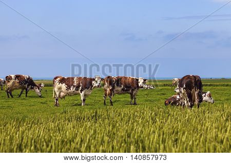 Cows on the field in Normandy. Normandy. Normandy France