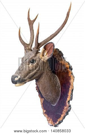 Deer head model mounted on wall isolated on white background.