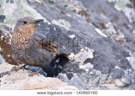 Close-up of bright blue rock thrush on rocks in daylight