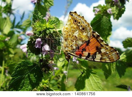 Close-up of Small Tortoise shell butterfly (Aglais urticae) drinks nectar