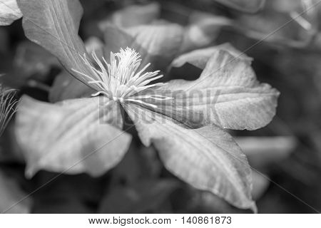 one big flower of a clematis closeup of monochrome gray tone