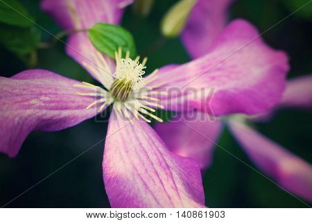 one big flower of a clematis closeup of pink and lilac color