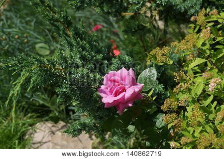 Beautiful And Proud Flower Is Bright Delicate Rose