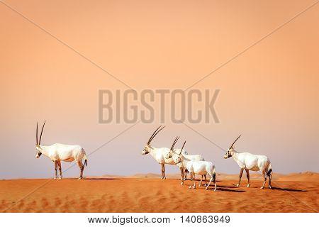 Oryxes or Arabian antelopes in the Desert Conservation Reserve near Dubai, UAE