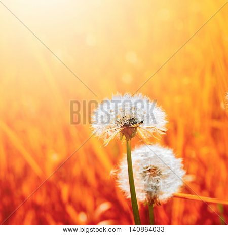 dandelion in red grass