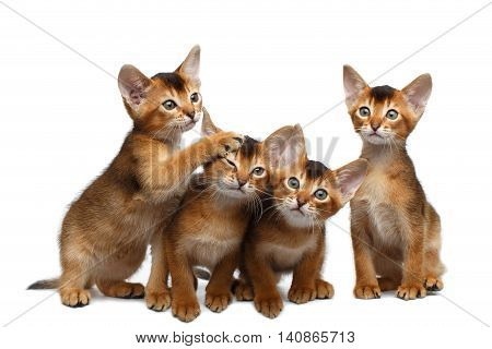 Four Cute Abyssinian Kitten Sitting and Curious Looking in Camera on Isolated White Background, Front view, Playful cat family