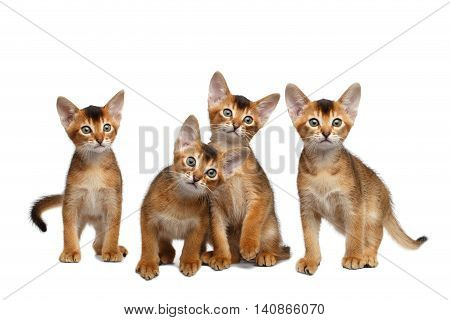 Four Cute Abyssinian Kitten Sitting and Curious Looking in Camera on Isolated White Background, Front view, Group of Hunting