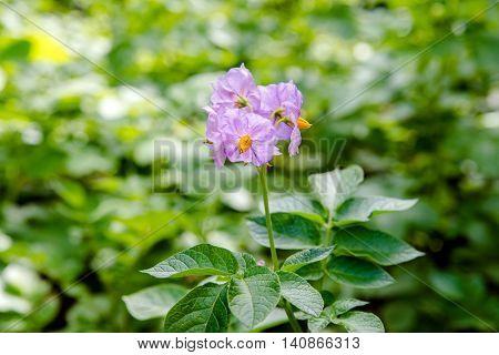 potato purple flowers in a potato field