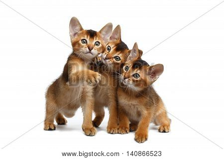 Three Cute Abyssinian Kitten Sitting and Curious Looking in Camera on Isolated White Background, Front view, Playful cat family