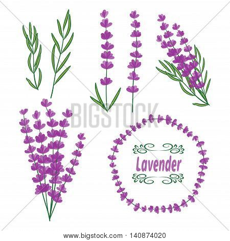 Lavender vector set. Collection of lavender flowers, leaves ans bunch.