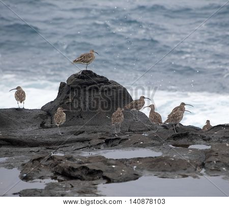 flock of slender-billed curlews waiting for favorable feeding conditions by water edge