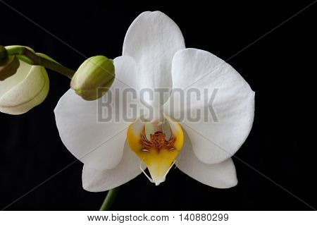 white Orchid flower Phalaenopsis butterfly on a black background