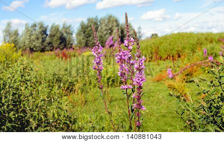 Dutch nature reserve with blooming Purple Loosestrife in the foreground and varied other wild plants in the background. It is a sunny summer day.
