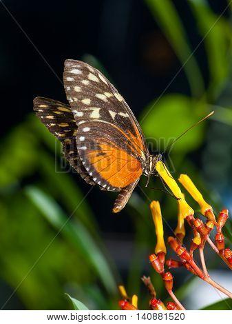 Monarch Butterfly on a flower - Ukraine