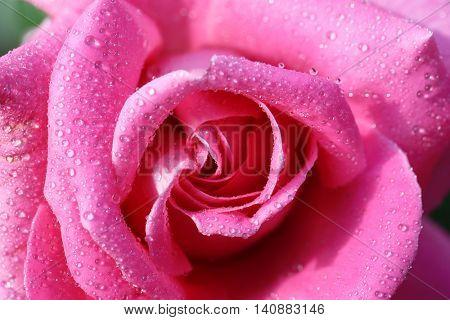 Beautiful pink rose with dew, closeup