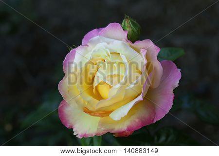 Beautiful rose in a garden