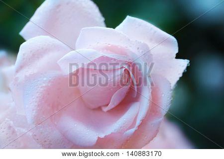 Beautiful pink tea rose with dew, closeup