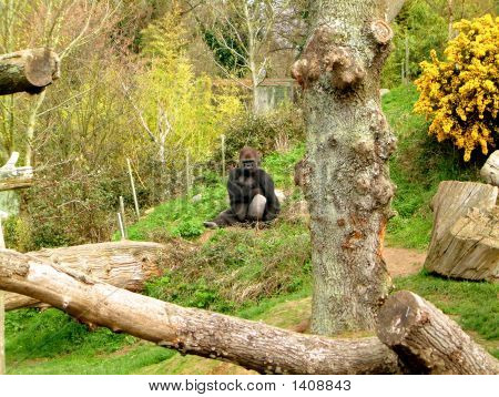 Brooding Gorilla