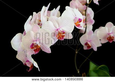 Branch of white orchids phalaenopsis flower covered with dew drops close-up isolated on a black background
