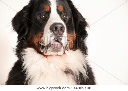 Hungry Bernese Mountain Dog