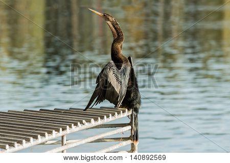 Cormorant drying his wings at a lake Eola Orlando Florida USA