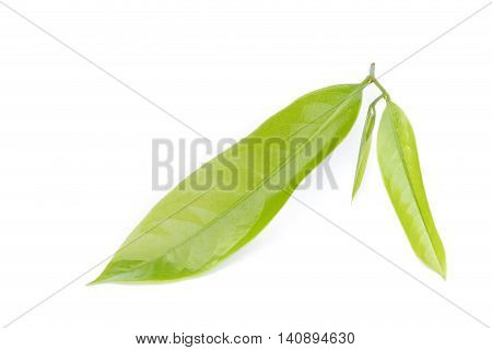 Macro Green Leaf Of Ylang-ylang Flower On White
