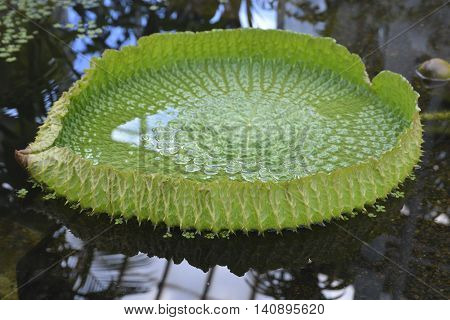 Victoria amazonica is a species of flowering plant the largest of the Nymphaeaceae family of water lilies.