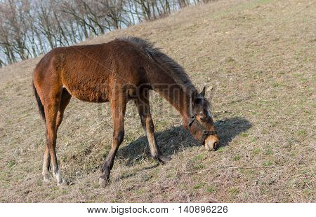 Young horse (mare) grazing first spring grass