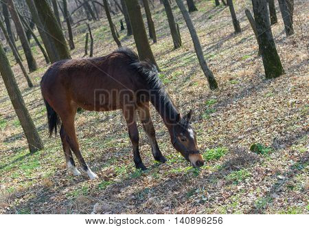 Young horse (mare) grazing first fresh grass