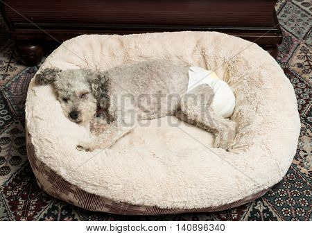 Old Grey Dog Wearing A Doggy Diaper
