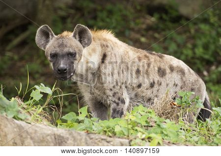 Spotted Hyena watching something in the park