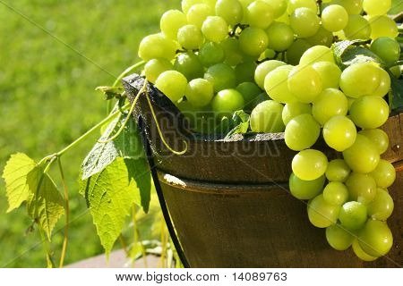 Green grapes in the summer sun